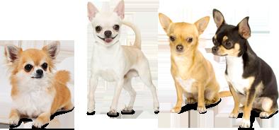 Chihuahuat